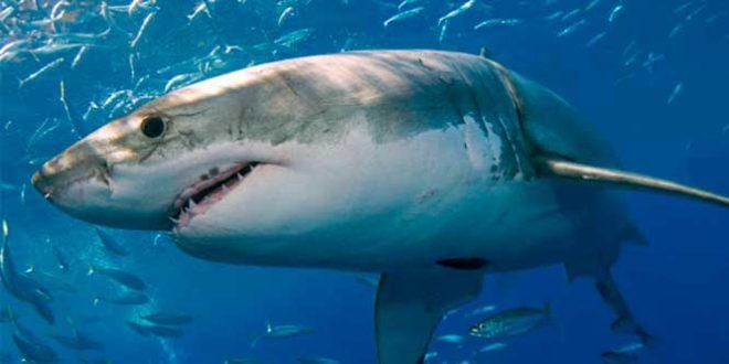 Cartílago de Tiburón: Más que una Ayuda para las Articulaciones