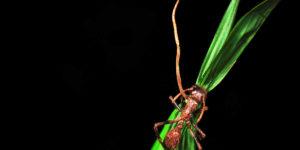 ¿Qué es y para qué sirve el Cordyceps?
