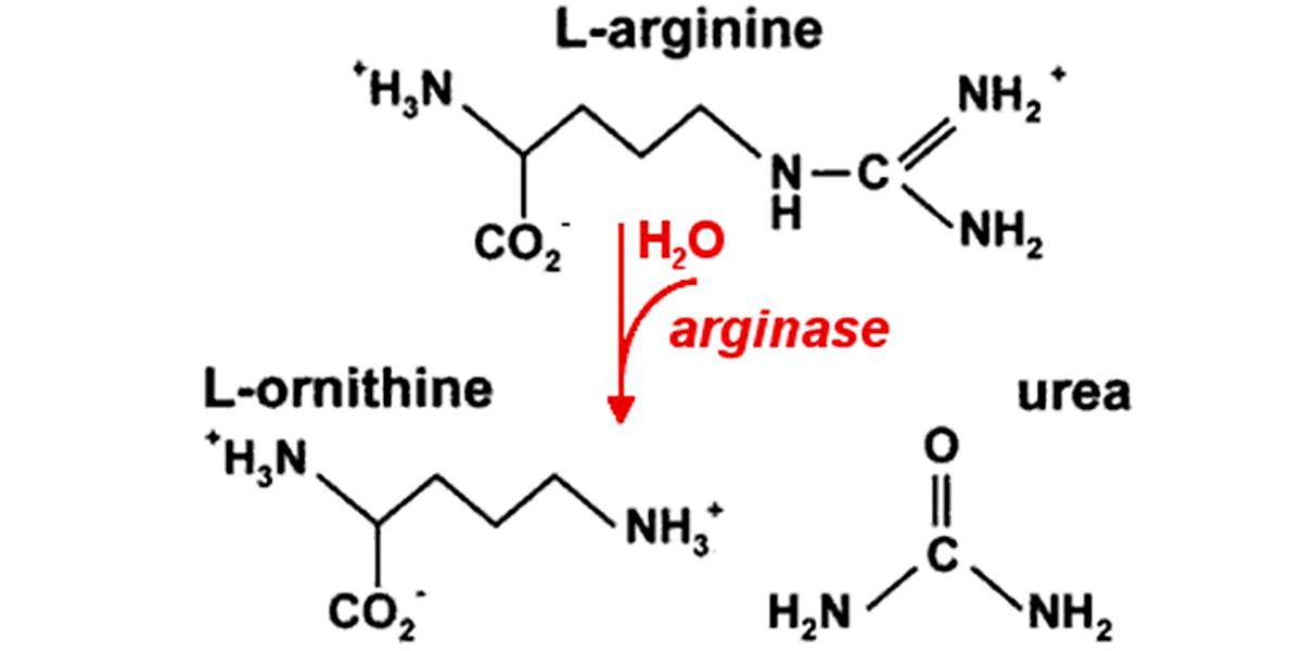 Degradacion de arginina