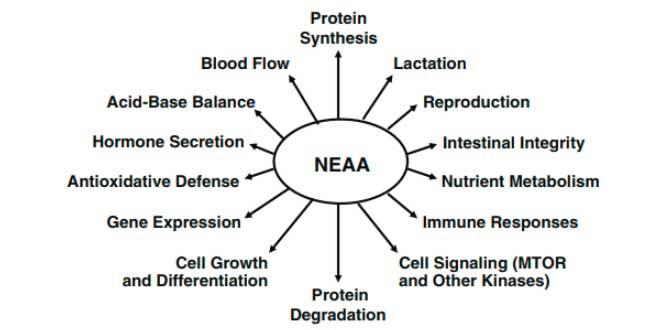 Función de los Aminoácidos No Esenciales