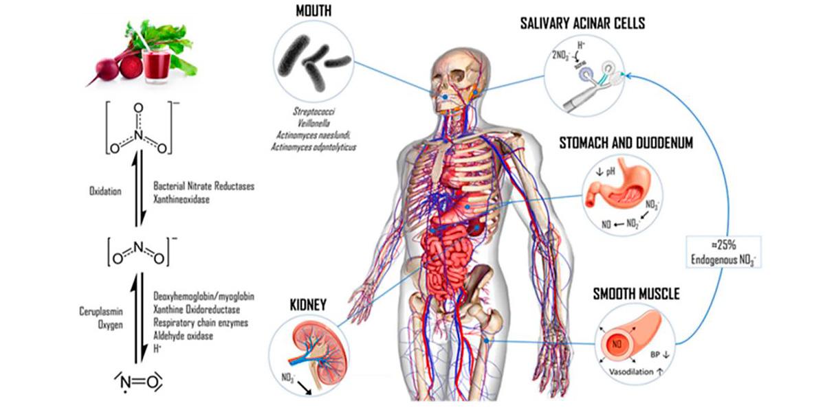 Metabolismo de los nitratos