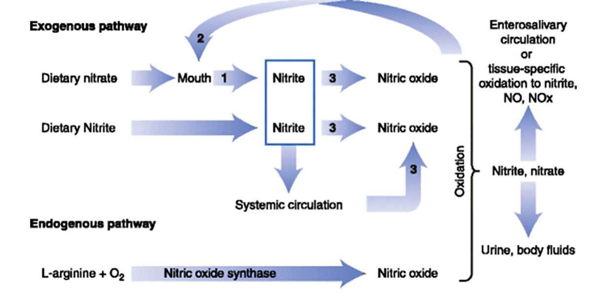 Metabolismo del Óxido Nítrico