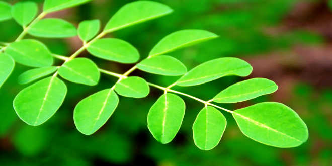 Moringa Natural