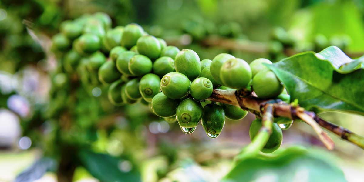 ¿Conoces todos los beneficios del café verde?
