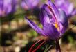 Flor de azafrán crocus sativus