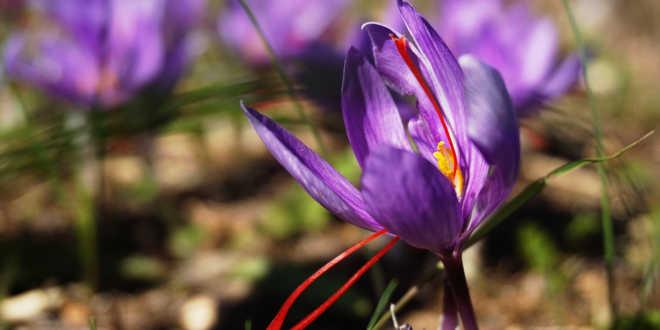 Azafrán crocus sativus – Regula la función inmune con este ingrediente natural