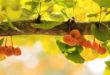 Ginkgo Biloba – Aumenta tu resistencia mental y mejora tu circulación sanguínea