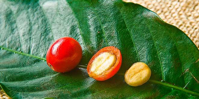 Granos de Café Verde sin tostar