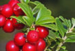 Uva ursi – Un excelente remedio para problemas urinarios