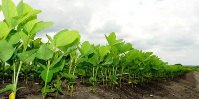 Planta de soja