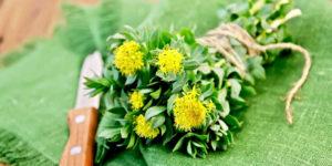¿Qué Beneficios tiene la Rhodiola Rosea?