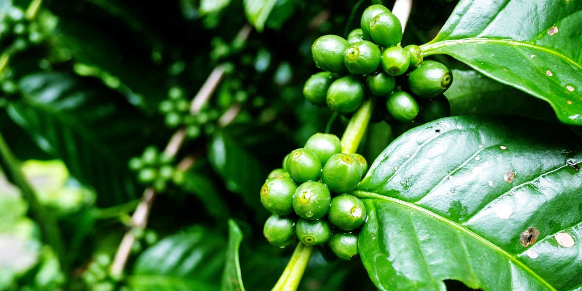 ¿De dónde se obtiene la cafeína de manera natural?