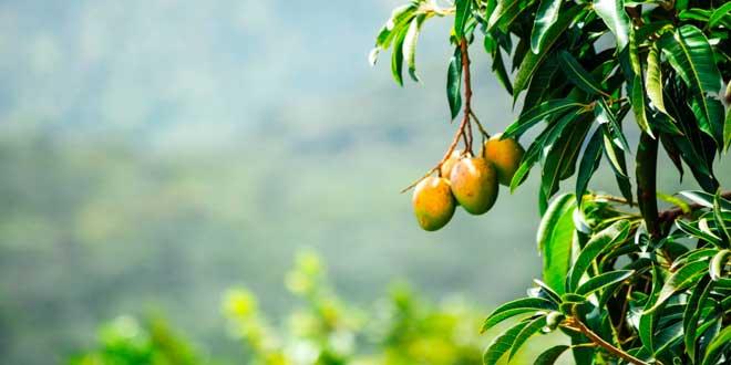 Mango Africano para Controla el Hambre y Ansiedad