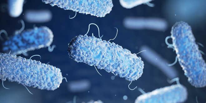 lactobacillus herveticus contra bacterias