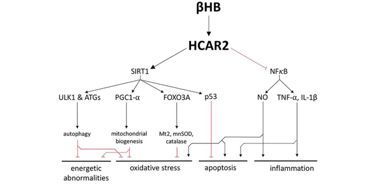 Efectos del BHB en el organismo