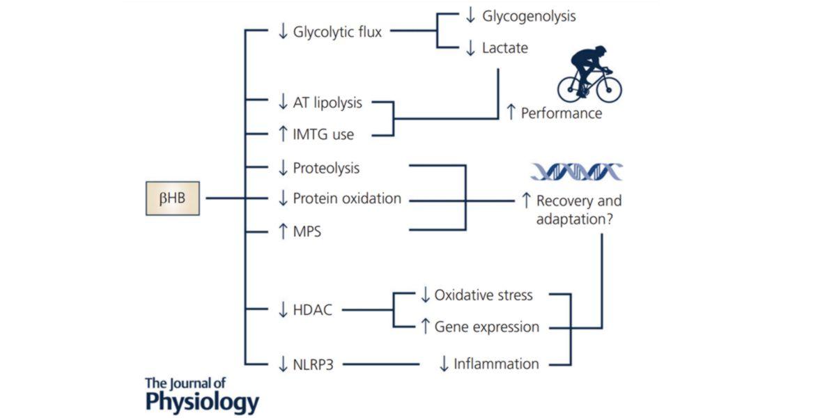 Efectos proteómicos y metabólicos del BHB.