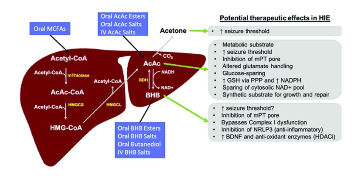 Potenciales efectos terapéuticos de los cuerpos cetónicos