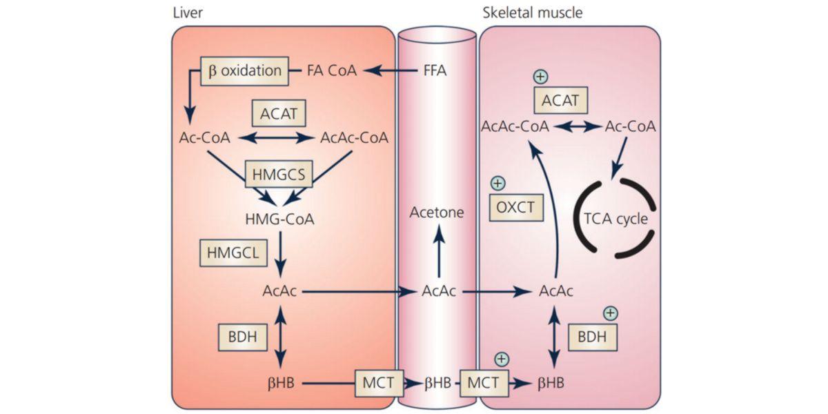 Metabolismo del β-Hidroxibutirato