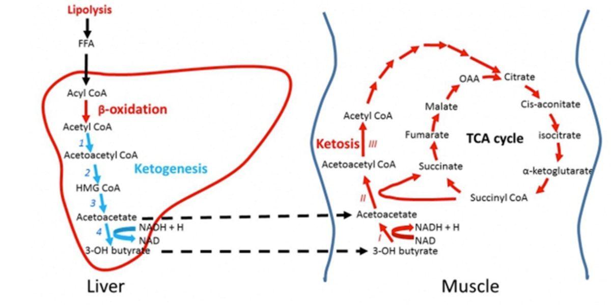 Metabolismo del BHB