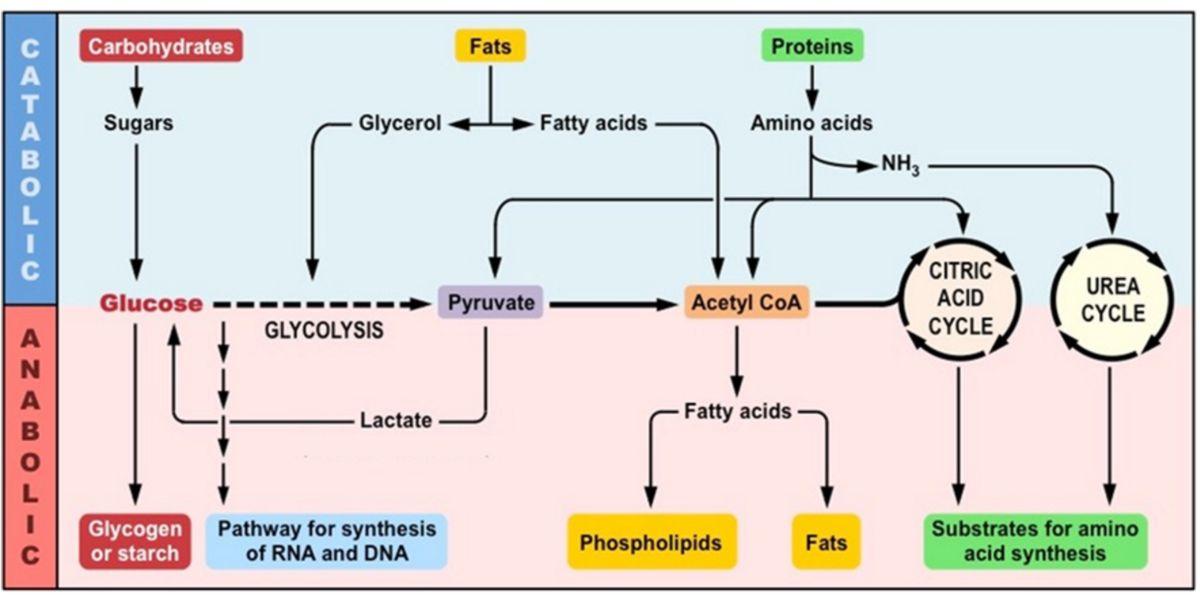 Representación Metabolismo Huumano