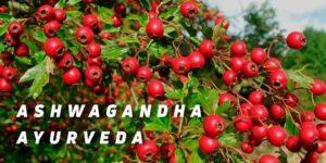 Ashwagandha planta