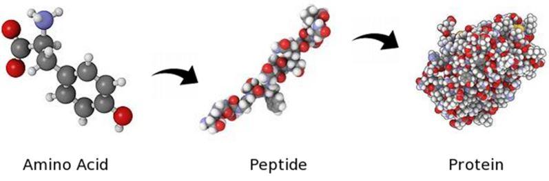 qué es un aminoácido