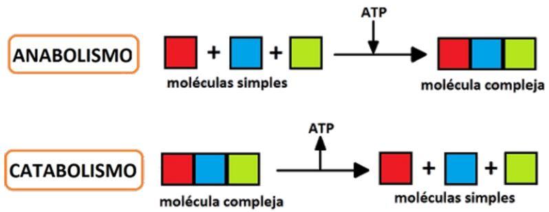 Anabolismo y Catabolismo