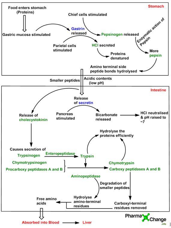 Proceso de degradación de las proteínas en aminoácidos