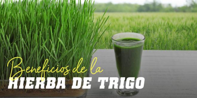 Hierba de Trigo – Conoce sus Beneficios y Propiedades