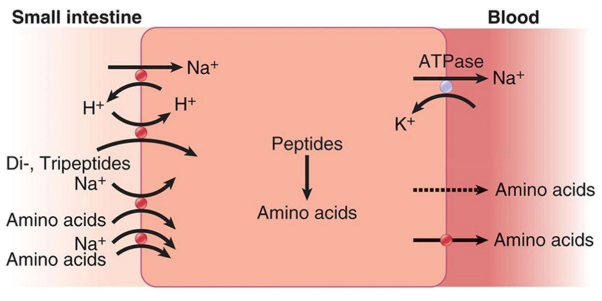 péptidos de aminoácidos