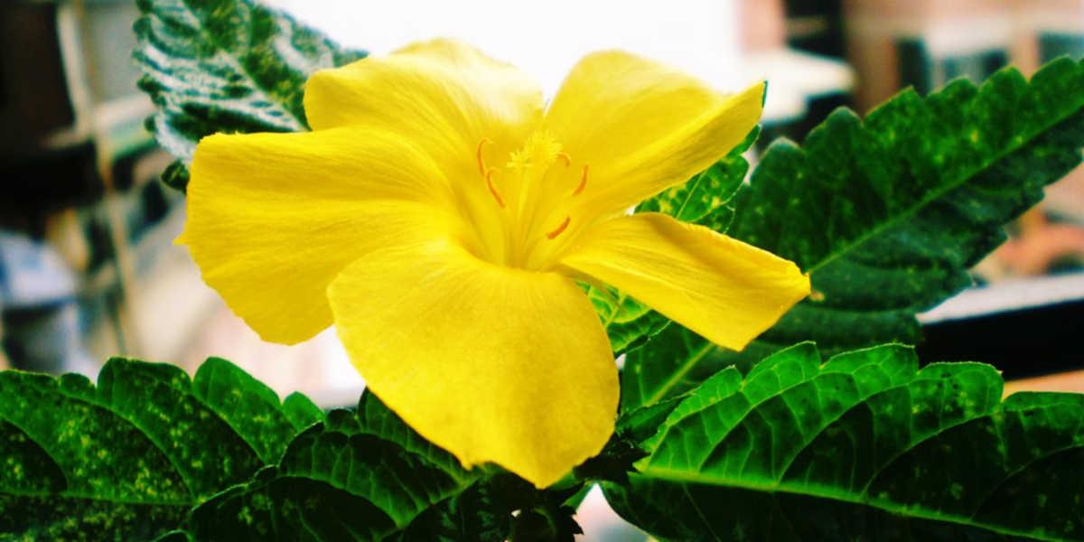 ¿Cómo obtener las propiedades y beneficios de la planta damiana?