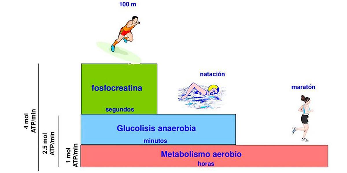 ¿Cómo conseguimos la energía muscular?
