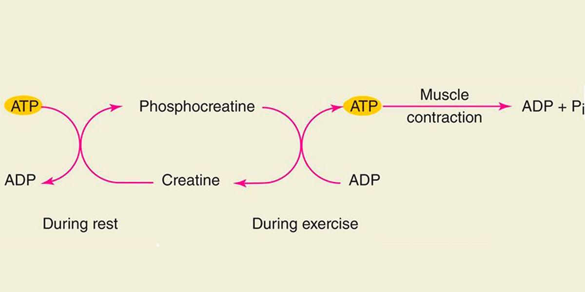 Metabolismo del ATP tras ejercicio