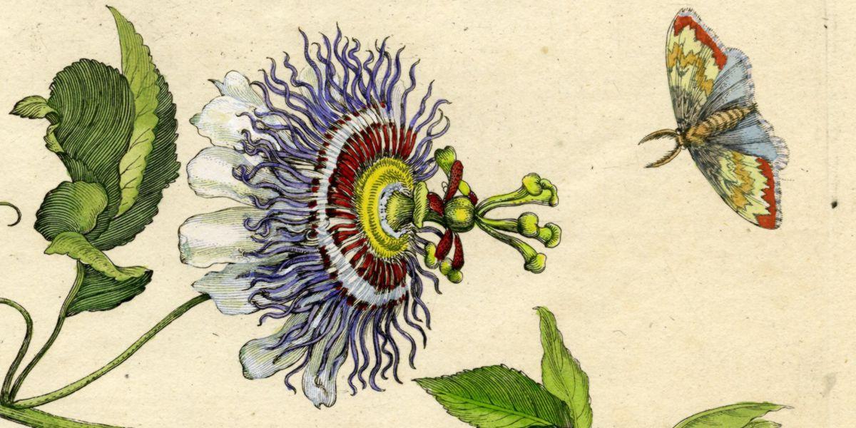 Historia de la Passiflora
