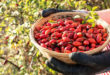 11 Propiedades de la Rosa Mosqueta para la Salud