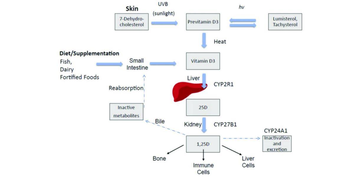 Cinética Vitamina D en el organismo