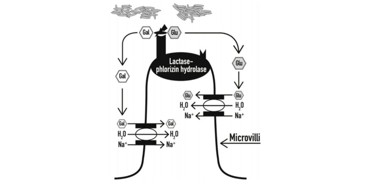 Representación gráfica de la hidrólisis y absorción intestinal de la lactosa