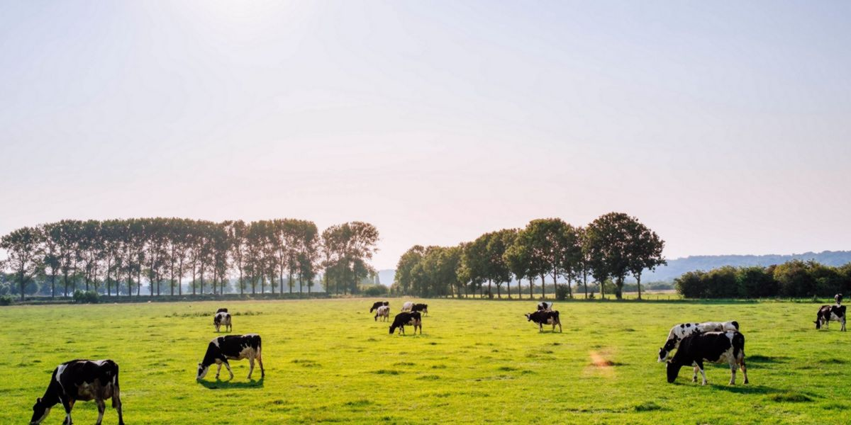 Vacas alimentadas libremente