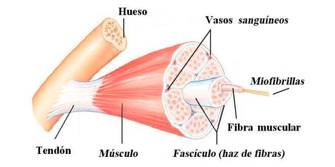 Inflamação muscular