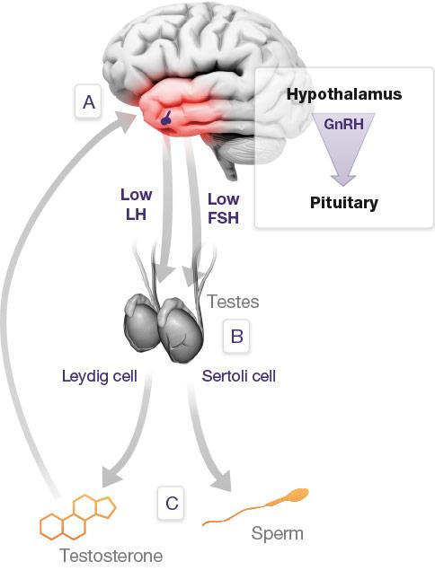 Como atua o DAA na produção de Testosterona