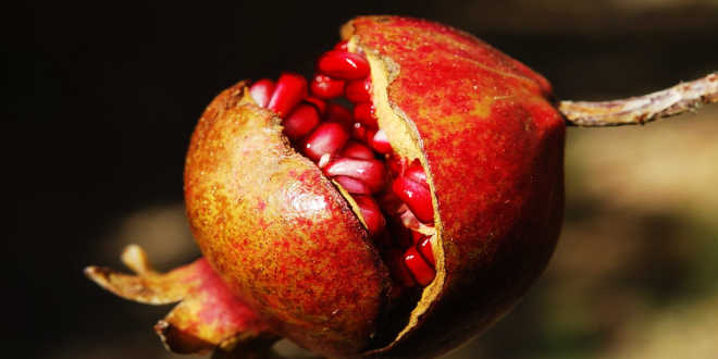 romã fruto