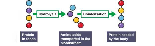 digestão proteinas