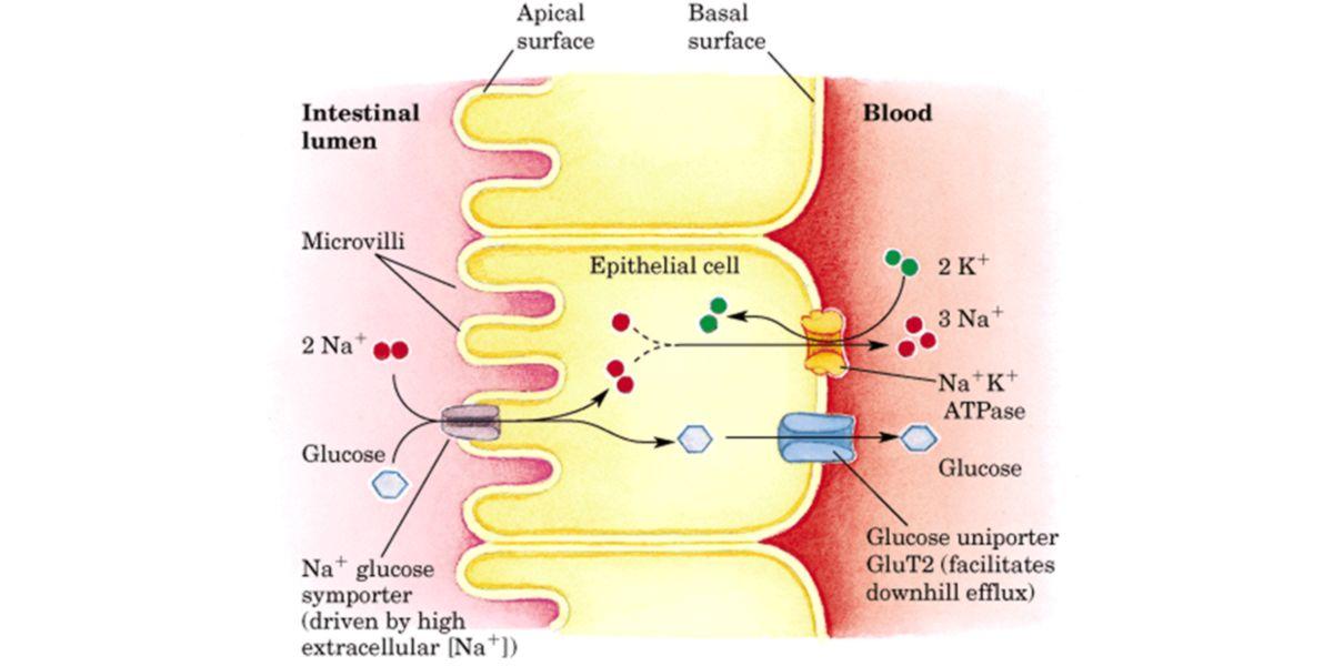 Transporte glicose