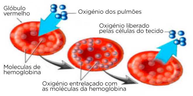 globulo vermelho