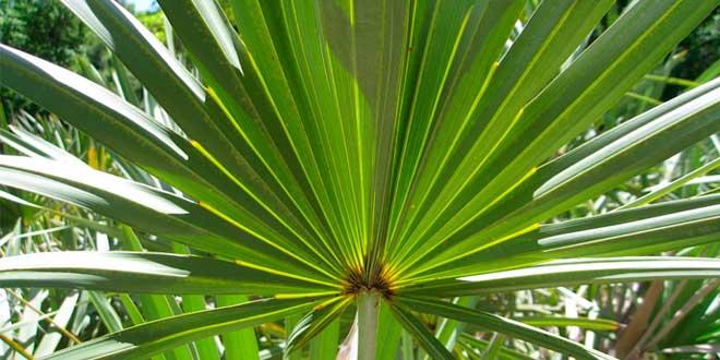 Saw Palmetto – Propriedades, benefícios e como tomar