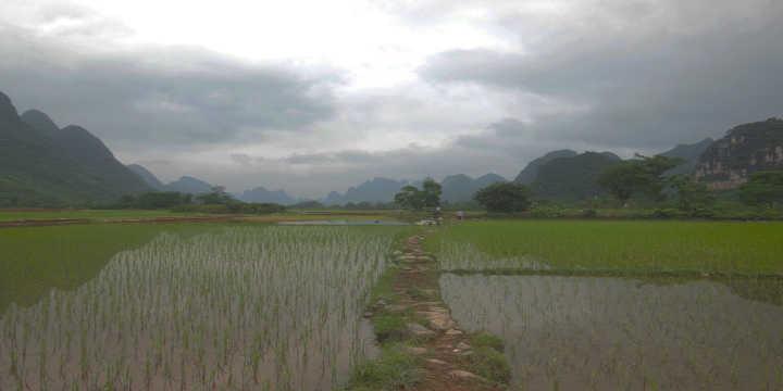 ´cultivo levedura arroz