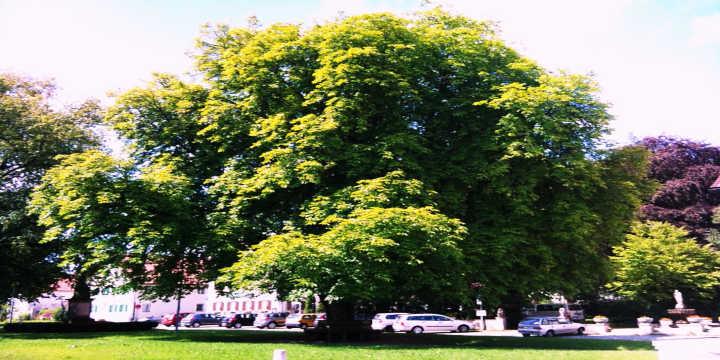 árvore castanho da india