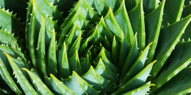 planta aloe...