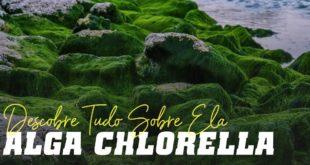 Alga chlorella