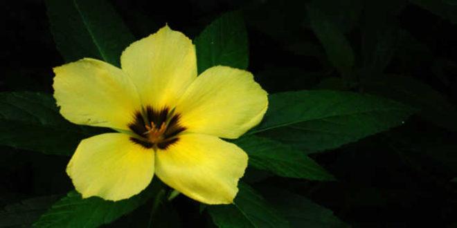 flor amarela damiana